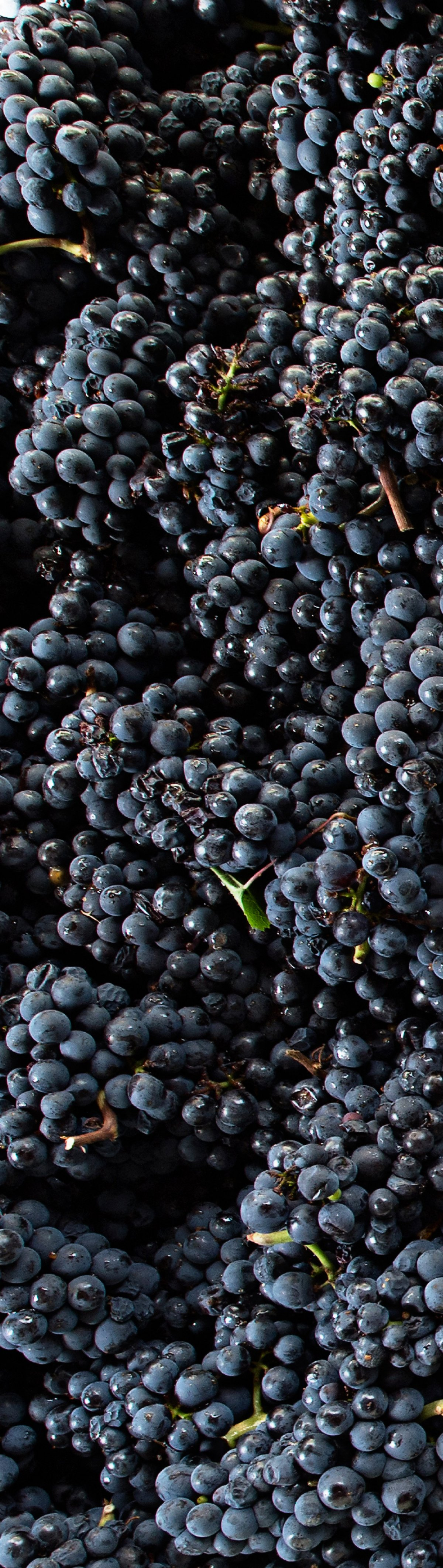 Clusters of Grapes Close Up