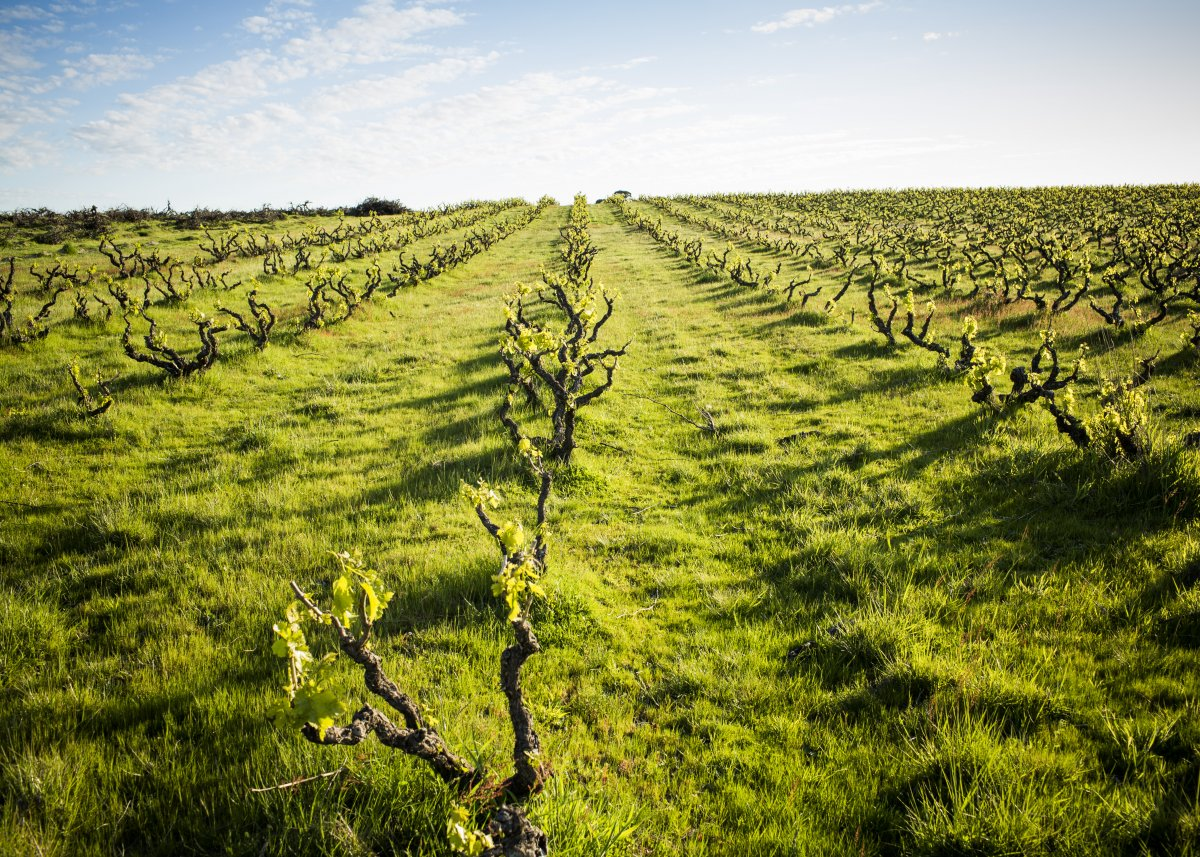 Old grape vines in rows in a green field